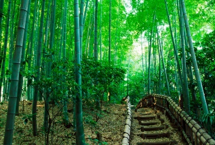 Bamboo_forest_with_path